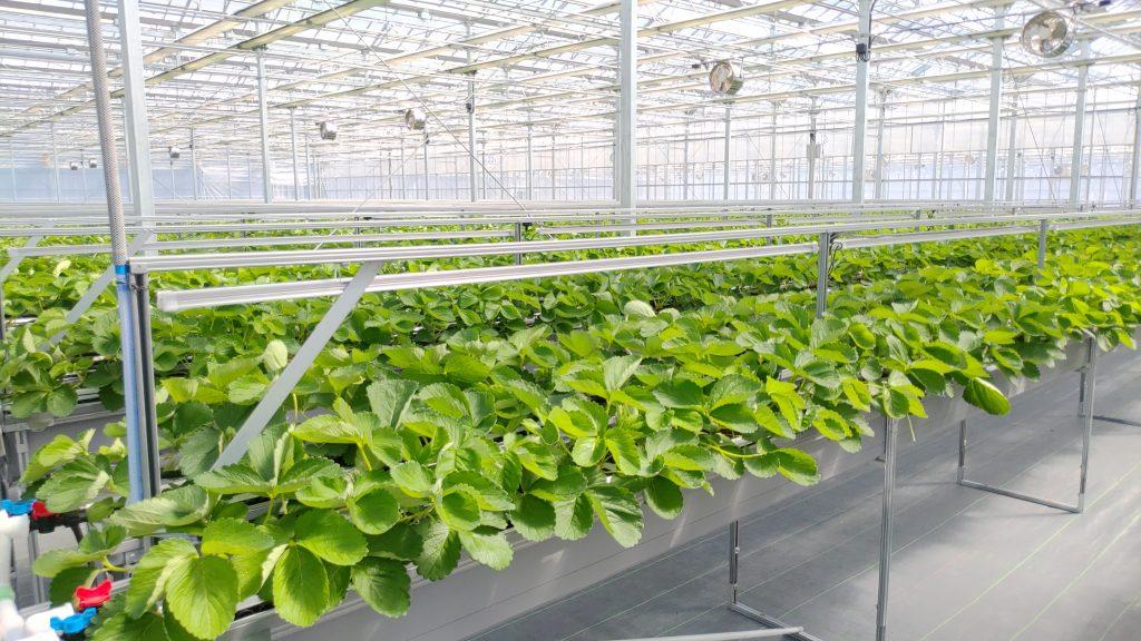 圃場栽培ベンチのいちごリサイズ